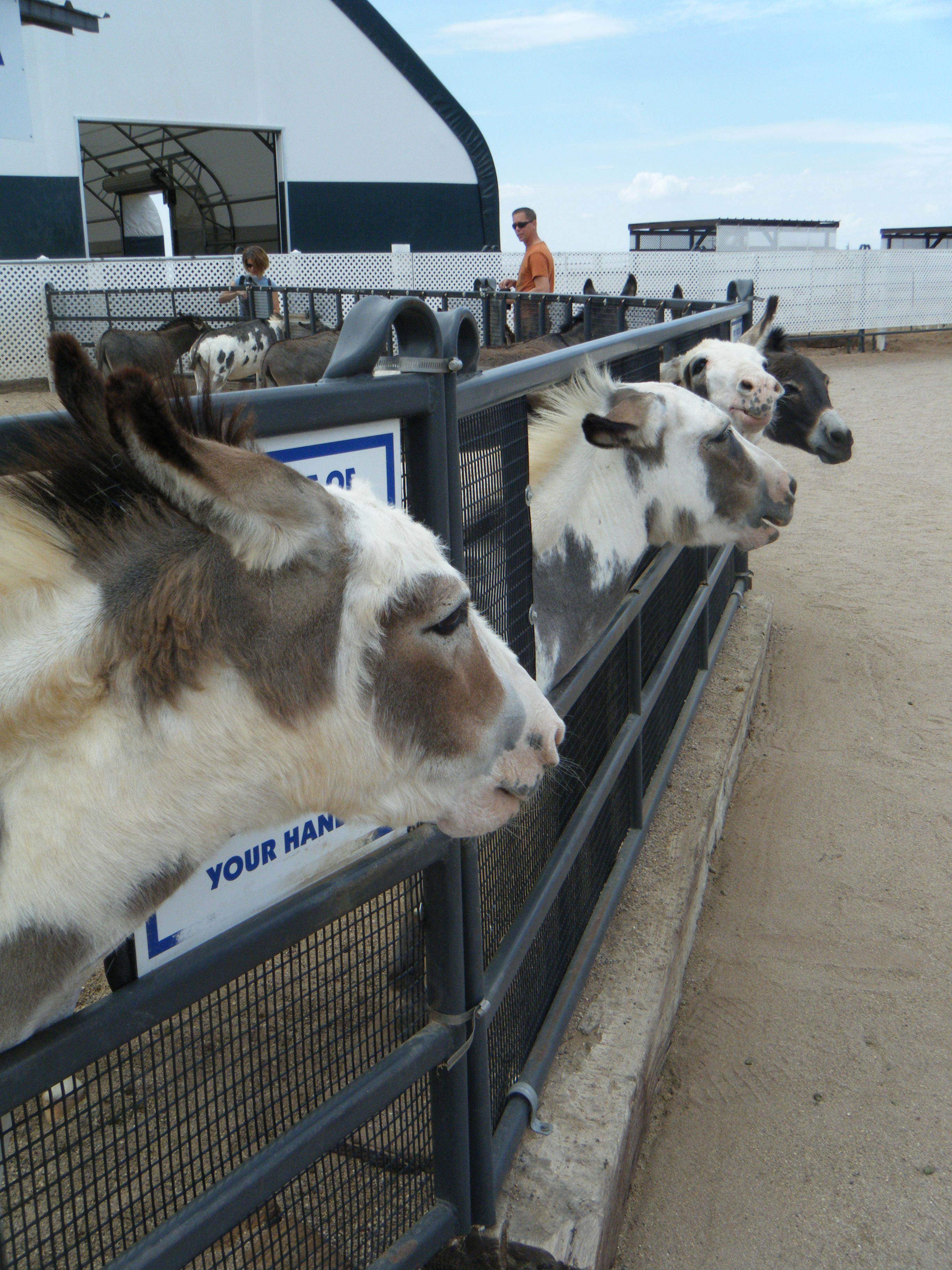 The Donkeys at Rooster Cogburns (c) AB Raschke