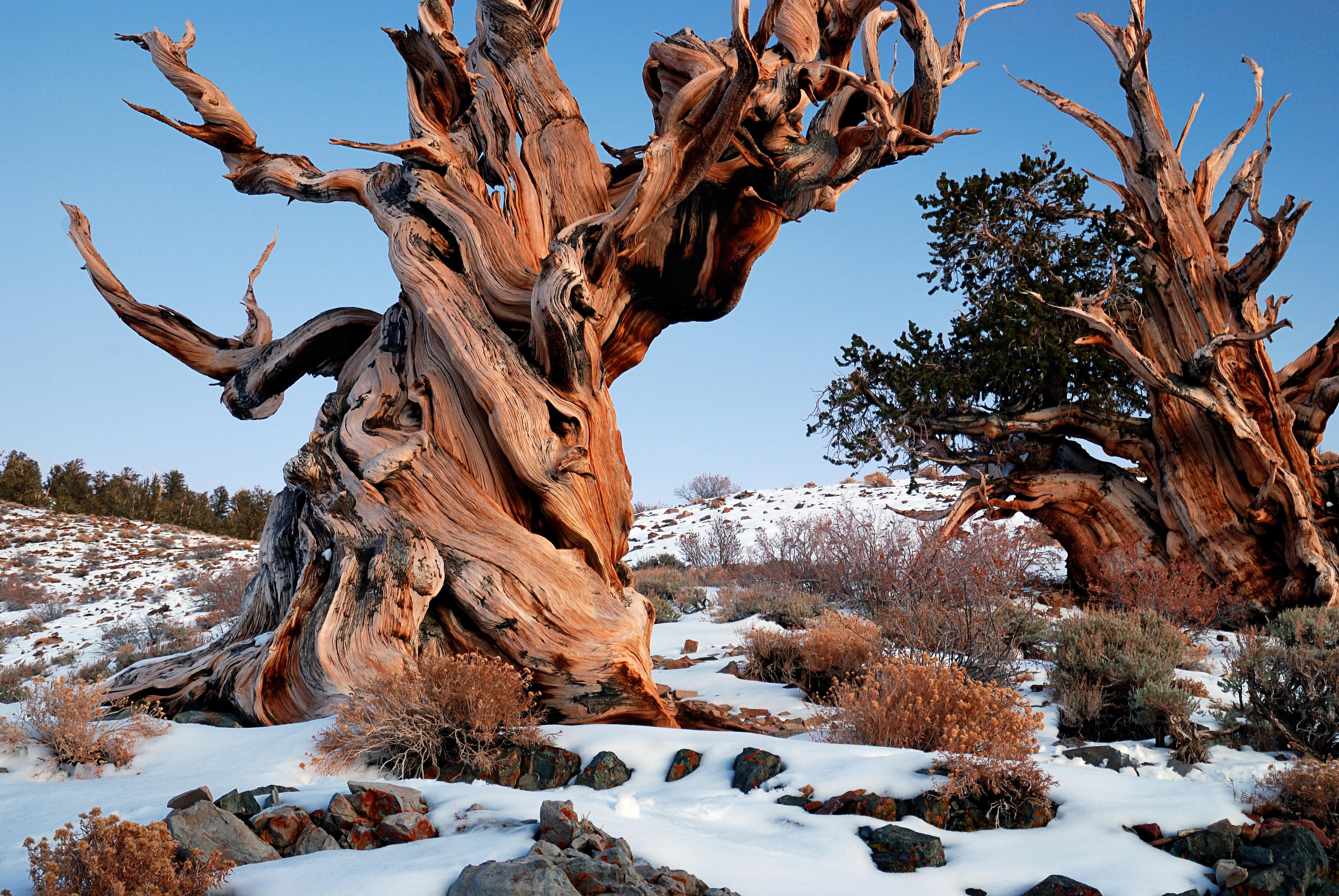 Bristlecone Pines (c) Wikipedia Commons