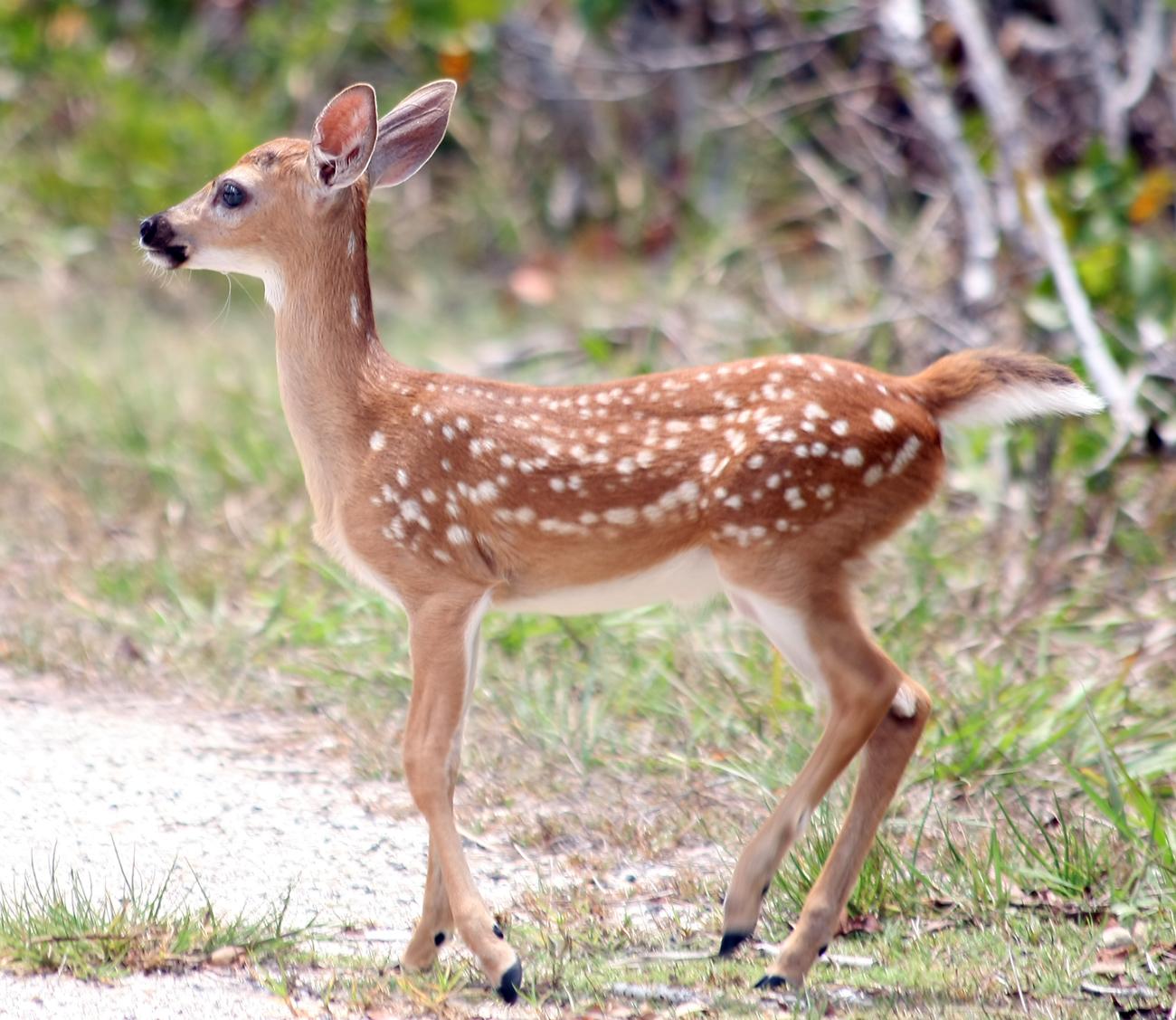 key deer fawn (c) Ianaré Sévi (CC via Wikipedia)